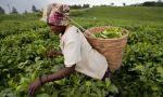 Workers harvest tea leaves