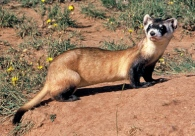 Black Footed Ferret alive and well after being extinct for 20 years