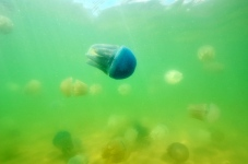Ocean jellyfish not dying out or taking over the oceans