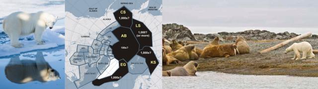 Polar Bears on Svalbad - autumn 2015 - fat as pigs