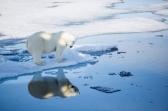 Polar Bears - fat as pigs
