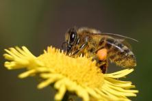 bees-ok